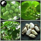 Buy Jatropha Carcas Tree Seeds 120pcs Plant Purging Nut Tree For Ma Feng Shu