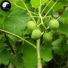 Buy Jatropha Carcas Tree Seeds 60pcs Plant Purging Nut Tree For Ma Feng Shu