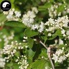Buy Symplocos Paniculata Tree Seeds 80pcs Plant Sapphireberry Sweetleaf Tree