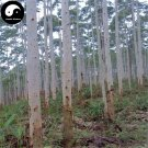 Buy Eucalyptus Tree Seeds 100pcs Plant Eucalyptus Robusta Smith Chinese An Shu