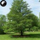 Buy Alnus Cremastogyne Tree Seeds 240pcs Plant China Alder Tree For Qi Mu Shu