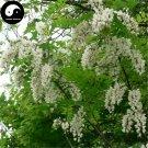 Buy False Acacia Tree Seeds 200pcs Plant Robinia Pseudoacacia For Black Locust