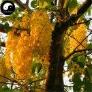 Buy Sophora Xanthantha Tree Seeds 240pcs Plant Sophora Xanthantha Guo Huai