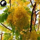Buy Sophora Xanthantha Tree Seeds 120pcs Plant Sophora Xanthantha Guo Huai