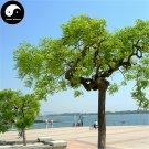 Buy Dragon Claws Sophora Tree Seeds 240pcs Plant Sophora Tree Chinese Guo Huai