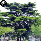 Buy Cedrus Deodara Tree Seeds 100pcs Plant Himalayan Cedar Tree Chinese Xue Song