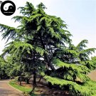 Buy Cedrus Deodara Tree Seeds 50pcs Plant Himalayan Cedar Tree Chinese Xue Song