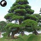 Buy Black Pine Tree Seeds 200pcs Plant Pinus Thunbergii Tree Chinese Hei Song