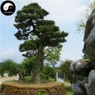 Buy Black Pine Tree Seeds 100pcs Plant Pinus Thunbergii Tree Chinese Hei Song