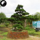 Buy Black Pine Tree Seeds 50pcs Plant Pinus Thunbergii Tree Chinese Hei Song