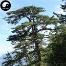 Buy Pinus Armandii Tree Seed 200pcs Plant Pinaster Tree China Pine Hua Shan Song