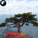 Buy Pinus Armandii Tree Seed 50pcs Plant Pinaster Tree China Pine Hua Shan Song