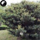 Buy Pinus Parviflora Tree Seeds 240pcs Plant Pine Tree For China Wu Zhen Song