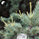 Buy Pinus Parviflora Tree Seeds 120pcs Plant Pine Tree For China Wu Zhen Song