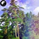 Buy Changpai Scotch Pine Tree Seeds 240pcs Plant Pinus Sylvestris Beauty Pine