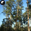 Buy Changpai Scotch Pine Tree Seeds 120pcs Plant Pinus Sylvestris Beauty Pine