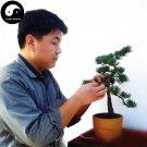 Buy Pinus Parviflora Aurea Tree Seeds 60pcs Plant Pinus Parviflora Da Ban Song
