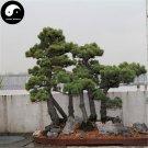 Buy Pinus Parviflora Aurea Tree Seeds 120pcs Plant Pinus Parviflora Da Ban Song