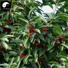 Buy Ilex Rotunda Tree Seeds 240pcs Plant Kurogane Holly Chinese Tie Dong Qing