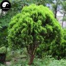 Buy Platycladus Orientalis Tree Seeds 240pcs Plant Arborvitae Chinese Ce Bai