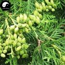 Buy Sabina Pingii Tree Seeds 240pcs Plant Arborvitae Chinese Xiang Bai Shu