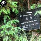 Buy Juniperus Formosana Tree Seeds 240pcs Plant Arborvitae Chinese Ci Bai Shu
