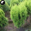 Buy Sabina Chinensis Tree Seeds 120pcs Plant Arborvitae For Chinese Sa Jin Bai