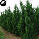 Buy Juniperus Chinensis Tree Seeds 120pcs Plant Chinese Dragon Arborvitae Tree