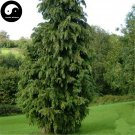 Buy Phoenix Tail Cypress Tree Seeds 60pcs Plant Chamaecyparis Obtusa Filicoides