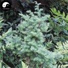 Buy Rong Cypress Tree Seeds 120pcs Plant Chamaecyparis Pisifera Squarrosa