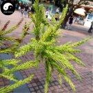 Buy Cryptomeria Fortunei Tree Seeds 60pcs Plant Cedar Tree Chinese Fir Liu Shan