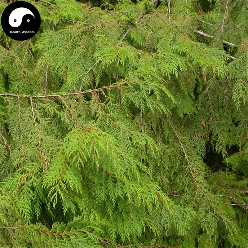 Buy Chamaecyparis Formosensis Matsum Tree Seeds 60pcs Plant Cedar Tree Hong Hui