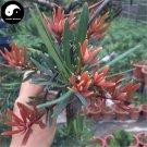 Buy Podocarpus Macrophyllus Tree Seeds 60pcs Plant Podocarpus Tree Luo Han Song