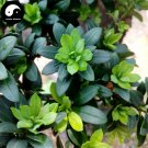 Buy Podocarpus Macrophyllus Tree Seeds 160pcs Plant Zhen Zhu Luo Han Song