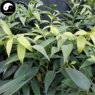 Buy Podocarpus Macrophyllus Tree Seeds 60pcs Plant Podocarpus Tree Zhu Bai