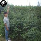 Buy Picea Asperata Fir Tree Seeds 240pcs Plant Spruce Tree Chinese Yun Shan