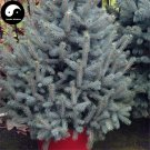 Buy Picea Pungens Fir Tree Seeds 240pcs Plant Blue Spruce Tree Chinese Lan Shan