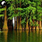 Buy Dawn Redwood Fir Tree Seeds 240pcs Plant Water Spruce Tree Chinese Shui Shan