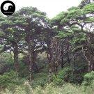 Buy Cathaya Argyrophylla Fir Tree Seeds 160pcs Plant Rare Spruce Tree Yin Shan