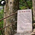 Buy Cathaya Argyrophylla Fir Tree Seeds 80pcs Plant Rare Spruce Tree Yin Shan