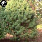 Buy Cathaya Argyrophylla Fir Tree Seeds 40pcs Plant Rare Spruce Tree Yin Shan
