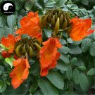 Buy Spathodea Campanulata Tree Seeds 120pcs Plant Spathodea Campanulata Tree