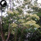 Buy Swida Wilsoniana Tree Seeds 120pcs Plant Chinese Cornus Wilsoniana Tree