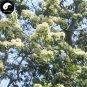 Buy Swida Wilsoniana Tree Seeds 60pcs Plant Chinese Cornus Wilsoniana Tree