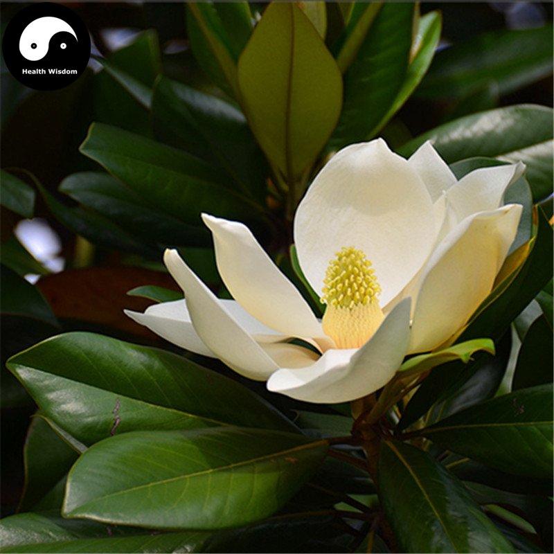 Buy Magnolia Grandiflora Tree Seeds 240pcs Plant White Magnoliaceae Guang Yu Lan