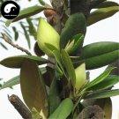 Buy Magnolia Grandiflora Tree Seeds 60pcs Plant White Magnoliaceae Guang Yu Lan