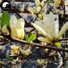 Buy Magnolia Grandiflora Tree Seed 120pcs Plant Yellow Magnoliaceae Guang Yu Lan