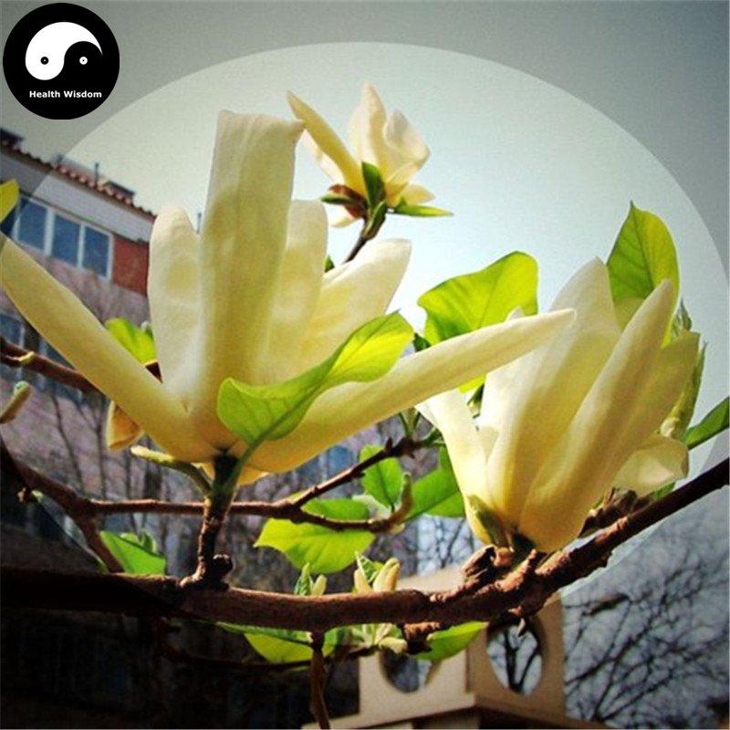 Buy Magnolia Grandiflora Tree Seeds 60pcs Plant Yellow Magnoliaceae Guang Yu Lan
