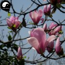 Buy Purple Lily Magnolia Tree Seeds 200pcs Plant Mchella Liliflora Zi Yu Lan