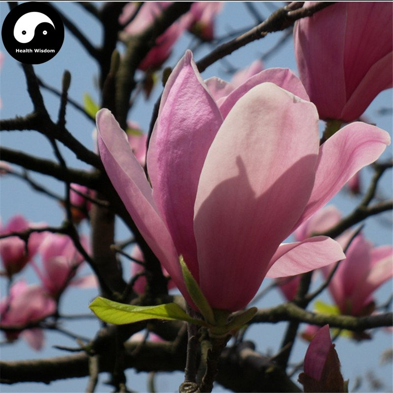Buy Purple Lily Magnolia Tree Seeds 50pcs Plant Mchella Liliflora Zi Yu Lan